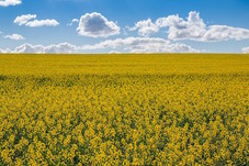 Image of canola field