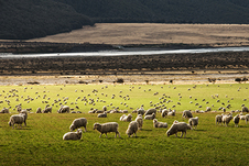 Photo of sheep grazing